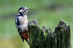 Great Spotted Woodpecker (f) (robin denton) Tags: dendrocoposmajor woodpecker greatspottedwoodpecker nature wildlife bird yorkshiredales yorkshiredalesnationalpark wensleydale northyorkshire yorkshire treestump woodland nationalpark