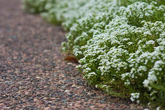 Alyssum (J0nnyM) Tags: pathway alyssum flowers white small nature overflow