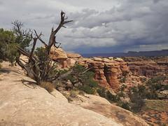 7223ex Canyonlands-- Needles area  **Explore** (jjjj56cp) Tags: canyonlands canyonlandsnationalpark canyonlandsneedles pansing nationalpark needlesdistrict utah ut vista view trailside hiking sliprocktrail sliprock deadtree red redrocks sandstone clouds cloudy p900 jennypansing needles