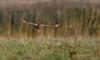 Velduil - Asio flammeus-3625 (Theo Locher) Tags: shortearedowl velduil sumpfohreule hiboudesmarais asioflammeus birds vogels vogel oiseaux belgium belgie copyrighttheolocher