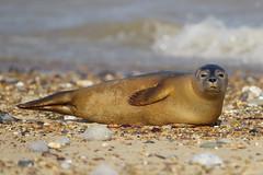 I Know You're There! (Hugobian) Tags: mammal grey seal seals horsey norfolk sea coast beach sand nature wildlife animal pentax k1