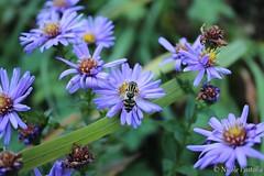 Bee on a flower (Neferubty) Tags: blume flower lila purple biene wespe bee animal flowers blumen