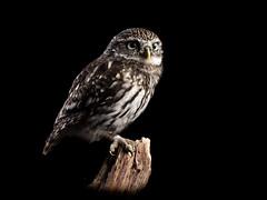 Little owl resting