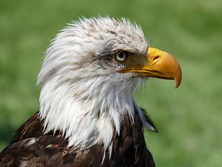 01 Bald Eagle