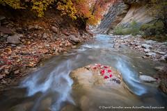 Advent of Fall (David Swindler (ActionPhotoTours.com)) Tags: leaves utah color river narrows zion autumn thenarrows zionnationalpark fall virginnarrows virginriver