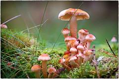171018-1 (sz227) Tags: pilze stockschwämmchen waldpilz wald pilz pilzzeit natur sz227 zackl sony sonyslt58