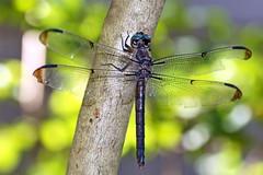 Slaty Skimmer-female (Jim Atkins Sr) Tags: dragonfly slatyskimmer insect skimmer northcarolina fairfieldharbour macro closeup sony sonyphotographing sonya58
