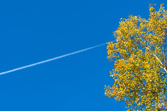 Higher (Chancy Rendezvous) Tags: contrail birch tree leaves foliage minimalist yellow autumn fall chancyrendezvous