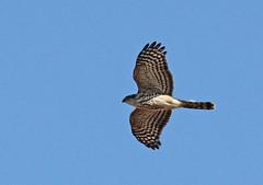 Cooper's Hawk at Sandy Hook (Tombo Pixels) Tags: hawk sandyhook0620 bird sandyhook nj newjersey twb1 audubon coopers audubonwalk