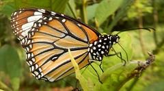 Sanjay Gandhi National Park: butterfly - Danaus genutia, the common tiger (John Steedman) Tags: bombay mumbai मुंबई india maharashtra महाराष्ट्र sanjaygandhinationalpark butterfly danausgenutia commontiger