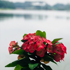 Overlooking the lake (paulpushparaj) Tags: red leaves green lakes lake water sunlight flowers flower morning walk walking strolling promenade jardin gardens botanique botanical flores flora phone iphonephotography iphone7plus iphone camera travel reflections memories deptheffect portrait bangalore lalbagh karnataka india dewdrops