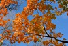 Fall colour (hogtown_blues) Tags: toronto ontario canada highpark fall autumn 2017 foliage leaves mapleleaves orange