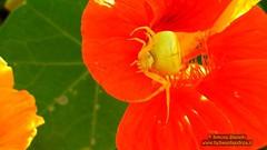 74 (bebsantandrea) Tags: levanto baiedellevante liguria natura campagna wild giardino fiori rosa pesco ciliegia fico ficodindia carciofo formica topo libellula mosca zanzara grillo ape vespa lucertola lizard farfalla butterfly riccio cimice ramarro afide pianta albero ragnatela gocce raindrop microcosmo sfingedelgalio farfallacolibrì ragno spider limone arancio arancia boragine impollinatrice cicala autunno estate primavera inverno bruco margherita zucca lampone fragola mantidereligiosa gallina coniglio coccinella kiwi