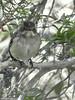 Pied flycatcher (Geminiature Nature+Landscape Photography Mallorca) Tags: piedflycatcher bontevliegenvanger ficedulahypoleuca hembra vrouwtje female frente front voorkant voorzijde borst pecho chest papamoscascerrojillo mallorca