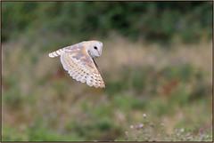 Barn Owl (image 2 of 2) (Full Moon Images) Tags: rspb fen drayton lakes wildlife nature reserve cambridgeshire bird flight flying birdofprey barn owl