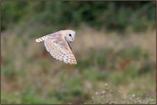 Barn Owl (image 2 of 2)