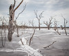 Death in the silt 2 5656 (russell.bray) Tags: deadtrees silt lake