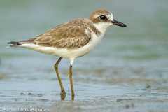 Greater Sand-plover (Ramakrishnan R - my experiments with light) Tags: charadriusleschenaultii 14tc 2017 500 500f4 500mm 7d avian backwaters bird birding canon chennai flickr greater incredibleindia nationalgeographic oct plover prime pulicat tamilnadu aves aviafauna birdphotography birdwatcher birdwatching birder birderfromchennai birds india lake natural nature sandplover sea shorebird telephoto twitcher waders water waterbody wild wildbirds wildlife wings