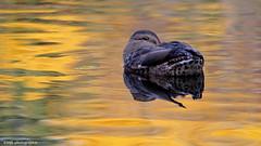 Coucou :) (Marie-Josée Lévesque) Tags: eau pond étang oiseau bird canard duck mallard colvert femelle nature wildlife reflets automne fall québec canada 2017