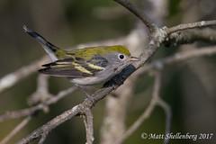 Chestnut-sided Warbler (Matt Shellenberg) Tags: bird warbler chestnutsided chestnutsidedwarbler
