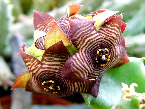 Caralluma flowers