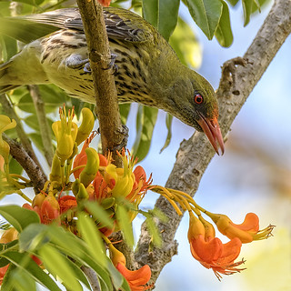 an olive-backed oriole in a black bean tree