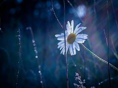 I'm shining for you (ursulamller900) Tags: pentacon2829 margerite daisy blue white waterdrops flower blume bokeh