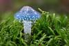 Grünspan-Träuschling (Stropharia aeruginosa) mit Kugelspringer (Collembola) (AchimOWL) Tags: ngc grünspanträuschling träuschling wald outdoor pilz schärfentiefe natur nature moos tropfen lumix dmcgh5 gh5 mushroom fungi flora makro macro minipilze wood kugelspringer collembola regen drops macrodreams