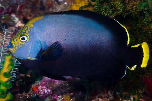 Black velvet Angelfish - Chaetodontoplus melanosoma
