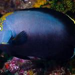 Black velvet Angelfish - Chaetodontoplus melanosoma thumbnail