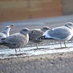 Gang of Gulls thumbnail