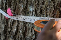 Cedrela odorata diameter increment of 70 cm in 23 years (J. B. Friday) Tags: cedrela cedrelaodorata meliaceae spanishcedar