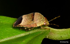 Shield-backed bug, Symphylus sp., Scutelleridae (Ecuador Megadiverso) Tags: andreaskay ecuador hemiptera heteroptera pentatomidae pentatomomorpha shieldbug truebug symphylussp scutelleridae