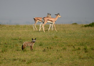 otocyon et gazelles