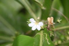 Scaevola taccada Ko Kut June 2017 (Aidehua2013) Tags: plant flower scaevola taccada asterales goodeniaceae beachnaupaka