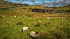 Yorkshire mowers in action (inExplore) (Lee~Harris) Tags: sheep field outdoor yorkshire cloud landscape light bridge viaduct ribblehead nature morning autumn october love colourful mountain hill g80 contrast lens wideangle animal sky grass