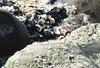 DSCF1183Cr Pink Sandpiper (Anand Leo) Tags: hilbreisland deeestuary wirral pinksandpiper
