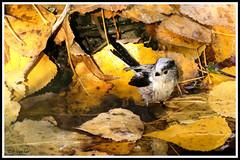 Codibugnolo bain 171021-00-P (paul.vetter) Tags: oiseau ornithologie ornithology faune animal bird mésangeàlonguequeue codibugnolo aegithaloscaudatus longtailedtit schwanzmeise mitocomún chapimrabilongo passereau passériformes