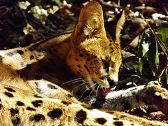 """Serval Cat • <a style=""""font-size:0.8em;"""" href=""""http://www.flickr.com/photos/152934089@N02/37582661352/"""" target=""""_blank"""">View on Flickr</a>"""