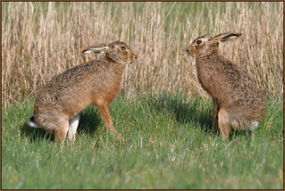 Brown Hare (image 2 of 3)