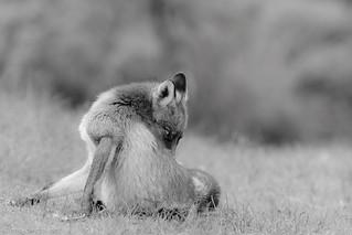 Red Fox in black/white