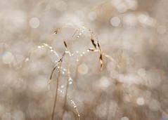 diamonds and rainbows (Emma Varley) Tags: grass dew bokeh rainbow droplets shallowdepthoffield glittering glistening shining autumn browns soft gentle calming