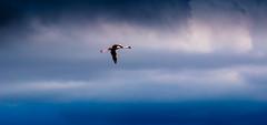 Flying below Radar (Beppe Rijs) Tags: africa afrika arusha arushanp flamingo flug momellalakes nationalpark tansania tanzania bird inflight