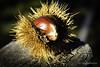 Spine (trizio77) Tags: tumn spine autunno castagna chestnut light fruit
