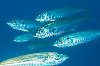 baitfish2Oct6-17
