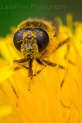 Eyes On You (Lazy Pixel) Tags: macro pollen flower yellow nature head fly eyes