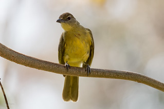 Yellow-bellied Greenbul (Chlorocichla flaviventris)