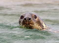 Blakeney seals 2017 (Whipper_snapper) Tags: seals blakeney norfolk