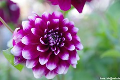IMGP1617 (hans03) Tags: iga internationale garten ausstellung gärten welt berlinmarzahn berlin marzahn blumen blüte