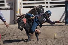 GY8A4506.jpg (BP3811) Tags: 8seconds 2017 allen arizona bareback barrel bell belt bit boots boy breakaway bronc buck buckle bull bulldogger bustin busting calf chase clown corral cow cowboys cowgirl days fall gate hat hazer header healer helmet horns horse jump kids lariat leap mutton october queen racing reins rex riders riding rodeo rope roping run saddle sheep spurs steer team teamwork tie twist wilcox wrestling